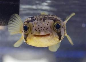 Ninja Duckies, 171. Puffer Fish
