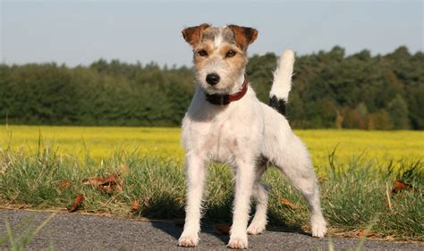 parson russell terrier history personality appearance