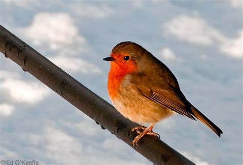 robin endangered animals facts wildlife pictures and videos