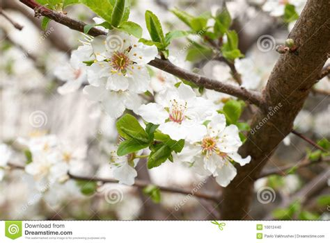 white flowering plum tree plum tree white flowers stock photography cartoondealer com 13845170
