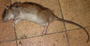 Unterschied Maus Ratte : kleine ratte oder gro e maus baumkunde forum ~ Lizthompson.info Haus und Dekorationen