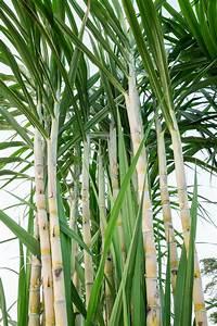 Sugarcane Pruning Guide  U2013 Does Sugarcane Need To Be Pruned