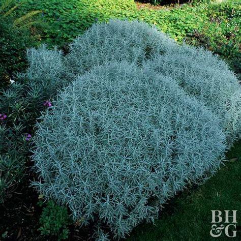 lavender cotton lavender cotton