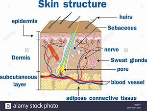 Vector Illustration Of Skin Structure Stock Vector Art