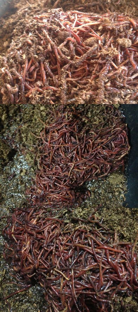 worms wiggler compost wigglers worm composting cocoon water gadgetshaul