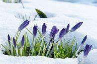 Wann Blühen Krokusse : fr hjahrsbl her pflanzen tipps zur pflanztiefe ~ Eleganceandgraceweddings.com Haus und Dekorationen