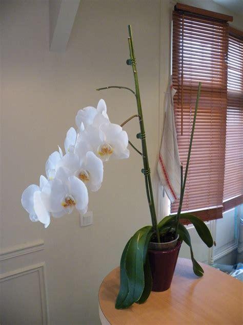comment entretenir une orchidée comment entretenir orchid 233 e phalaenopsis quand on est d 233 butant
