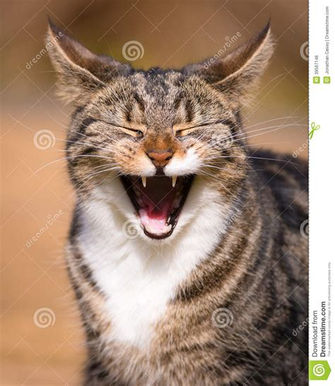 Tabby Cat Laughing Stockfoto  Bild 39567146