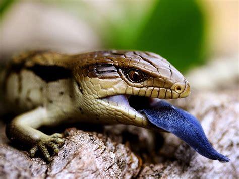 What Do Blue Tongue Lizards Eat