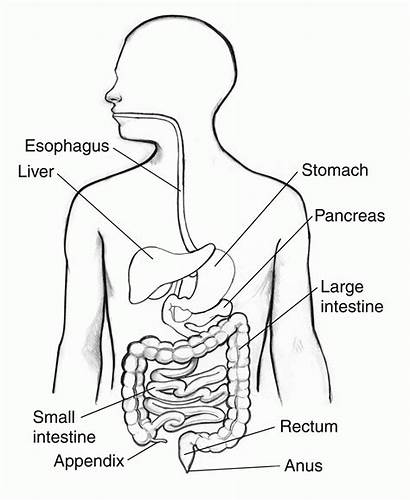 Digestive System Diagram Abdominal Coloring Drawing Respiratory