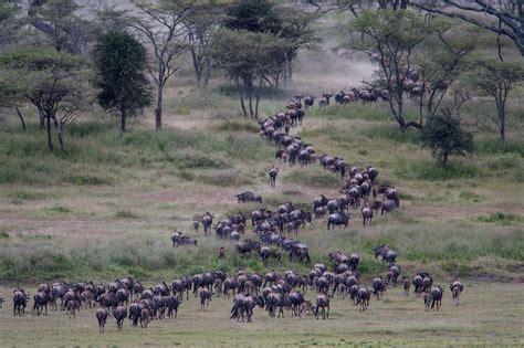 safari testo serengeti national park safari crew tanzania