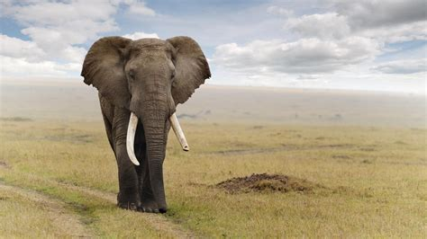 high resolution elephant pictures   big african