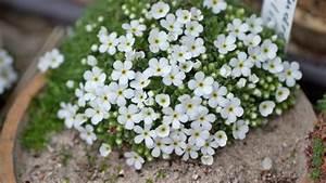 Pflanzen Für Steinbeet : alpine pflanzen f r steingarten und alpinenhaus garten ~ Orissabook.com Haus und Dekorationen