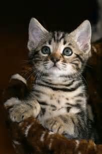 Cute Kitten Bengal Cats
