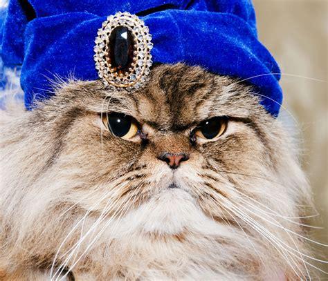 cat orie si e auto gatto persiano il micio più aristocratico che c è