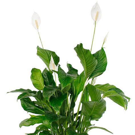 Einblatt Pflege Tipps spathiphyllum pflege