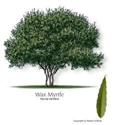 wax myrtle mtv trees