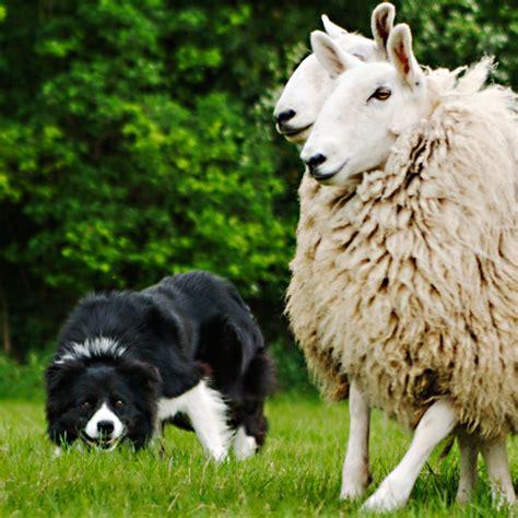 herding sheepdog glen working sheep  working sheepdog