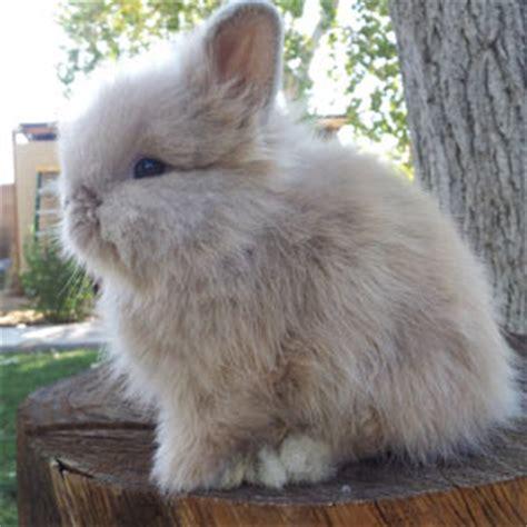 lionhead rabbit colors lionhead rabbit colors and varieties marked