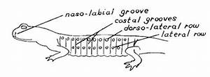 Diagram Of Salamander Anatomy