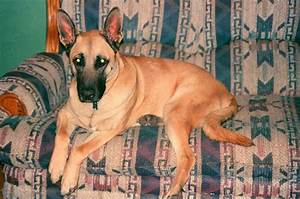 german shepherd great dane | It's a Dogs Life | Pinterest