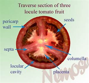 Solanum Lycopersicum  Tomato  Life Cycle  Flower And Fruit