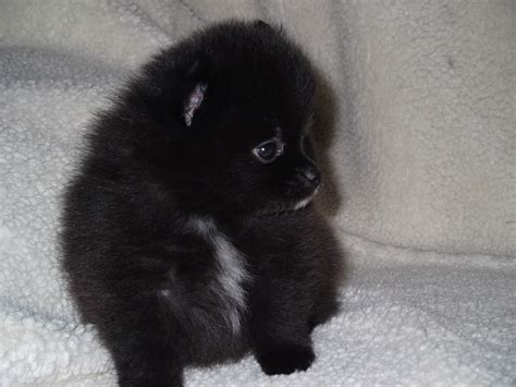 cute pomeranian black dogs wide high quality