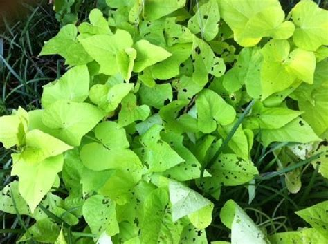 Decorative Potato Plant - ornamental sweet potato vine is a garden accent