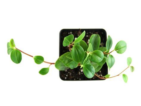 jenis jenis peperomia cocok dijadikan tanaman hias