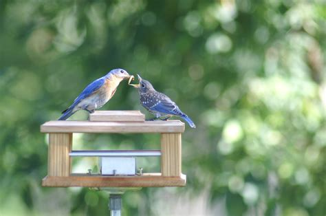 stupendous blue bird feeder 116 bluebird feeders wild