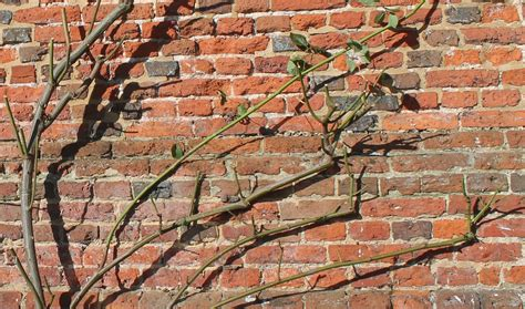 when to trim climbing roses climbing roses the sproutling writes