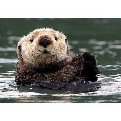 Sea Otter Prince William SoundSea in