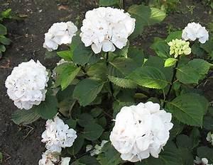 Wie Lange Blühen Hortensien : diabsite diabetes weblog blog archive von bl henden hortensien ges umte laufstrecke ~ Frokenaadalensverden.com Haus und Dekorationen