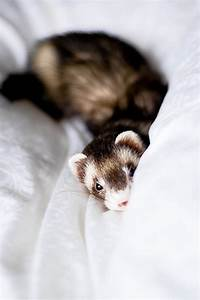 Über Cute Pictures of Ferrets