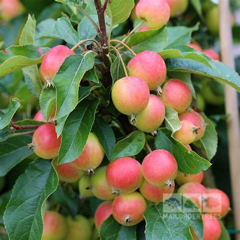 honey oak malus rosehip crab apple tree mail order trees