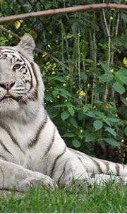 Rare White Tiger, photographed in Dierenpark (Zoo ...