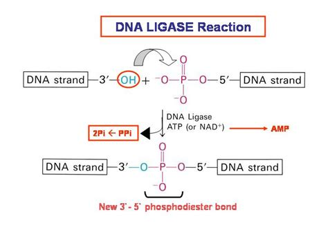 The Enzyme Uses Atp To Unwin Dna Template by Biochemistry Dna Ligase Mechanism Biology Stack Exchange
