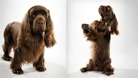 sussex spaniel dog breed selector animal planet