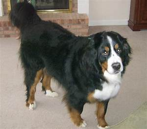Golden Mountain Dog (Golden Retriever-Bernese Mountain Mix ...