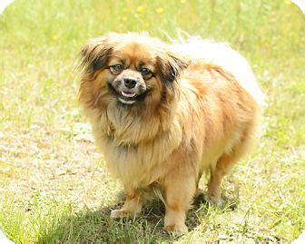 pekingese information facts breeds picture