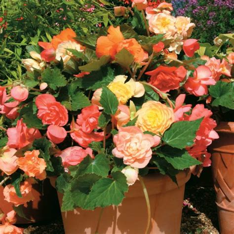 begonia care what the beautiful begonias need to thrive fresh design pedia