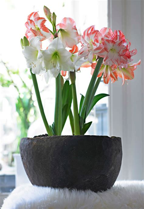 How To Bulbs Gorgeous Indoor Bloom And Color by How To Bulbs For Gorgeous Indoor Bloom And Color