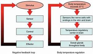 What Does Homeostasis Do In Our Body
