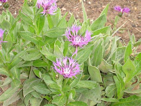 list of hardy perennial flowers top 28 list of hardy perennial flowers aubrieta purple cascade f1 hybrid aubretia hardy