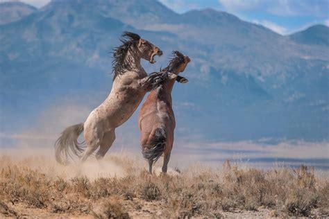 horses wild arizona wilder adventure stallions american lands