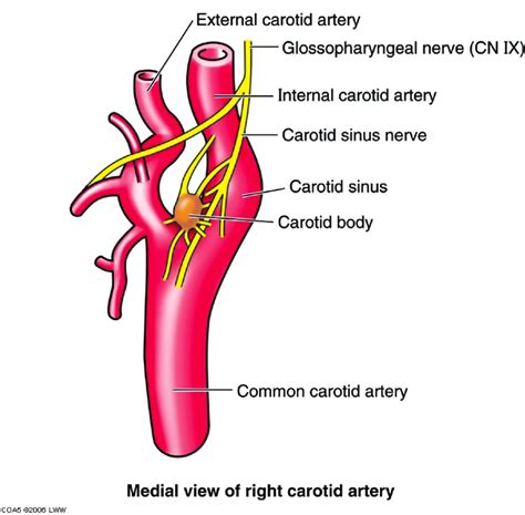 The common carotid artery sometimes follows a very tortuous course, forming one or more distinct loops in the neck. Arteries of Head & Neck - Dental Hygiene 231 with Kuba at ...