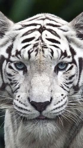 El tigre blanco, un hombre racional y un empresario radicado en el centro mundial de la tecnología y la subcontratación, electronics city phase, 1 (junto a hosur main road). Descargar White tiger by Revenge Solution para Android ...