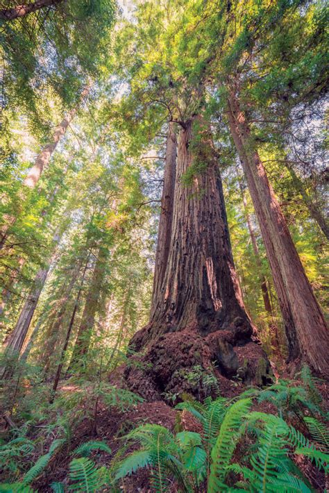 Bay Nature Magazine: Discovery of The Oldest Redwood in ...