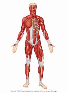 Human Muscles Diagram Unlabeled