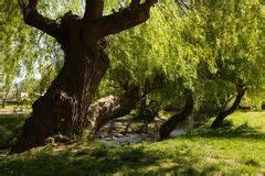 Jena Paradies Park : weeping beech tree stock image image of green hanging 13785751 ~ Orissabook.com Haus und Dekorationen